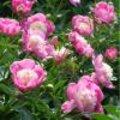 Kleurige bloemen bij vaste planten