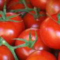 Tomaten opkweken