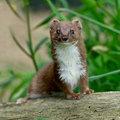 Soorten marterachtigen: wezel, hermelijn, bunzing, fret, steenmarter en boommarter