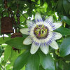Passiflora - de legende van de prachtige passiebloem