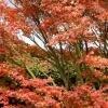 Herfstkleuren in de tuin met esdoorn of Acer