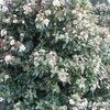 Sierheesters in bloei in november