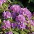 Verzorgingtips en bestrijdingtips bij veel voorkomende ziektebeelden van Rhododendron
