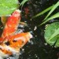 Voederperioden en voederhoeveelheid voor vissen