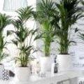 Kentia palm of Howea