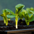 De vroegste groente…