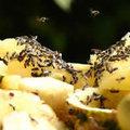 Fruitvlieg of bananenvlieg
