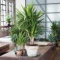 Yucca kamerplant of palmlelie