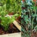 Rucola en postelein: 2 keer smullen in april