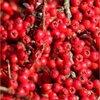 Antioxidanten voor tuinvogels, besdragende soorten in het najaar.
