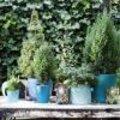 Blauwe coniferen of naaldbomen op het terras