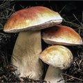 Soorten culinaire paddenstoelen