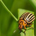 Coloradokevers: de plaag in de aardappelteelt