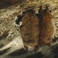 Winterslapers: vleermuizen helpen...is jezelf helpen!