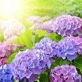Hortensia's in alle kleuren, wat is het geheim?