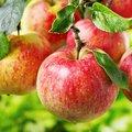 Appelen eten van de late zomer tot de lente!