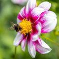 Bloembollen voor gelukkige bijen