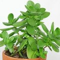 Crassula - onderhoudsvriendelijke plant