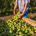 Week van het plukfruit: een nieuw perenseizoen