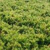 Leuke alternatieven voor gazon: betreedbare bodembedekkers