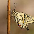 Hoe de rups een vlinder werd, de koninginnepage