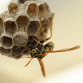 Is het een bij, een wesp of een zweefvlieg?