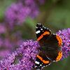 Is jouw tuin een paradijs voor vlinders?
