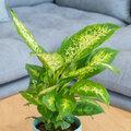 Kamerplant van de week:  Dieffenbachia 'Compacta'