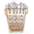 Lasagne van bloembollen