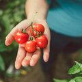 Tomatenplaag bij tomaten