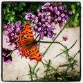 Vlinder mee met Natuurpunt VZW!