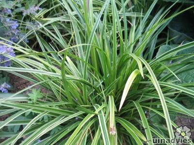 foto Carex morrowii 'Variegata'