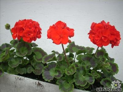 foto Pelargonium (algemeen)