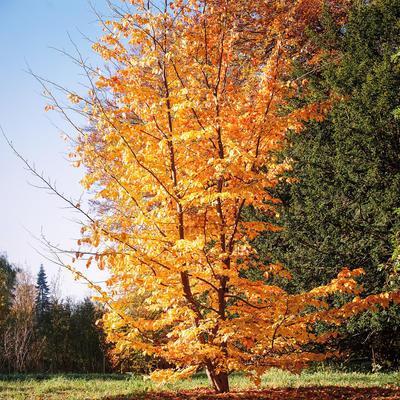 Parrotia persica (persisch ijzerhout)