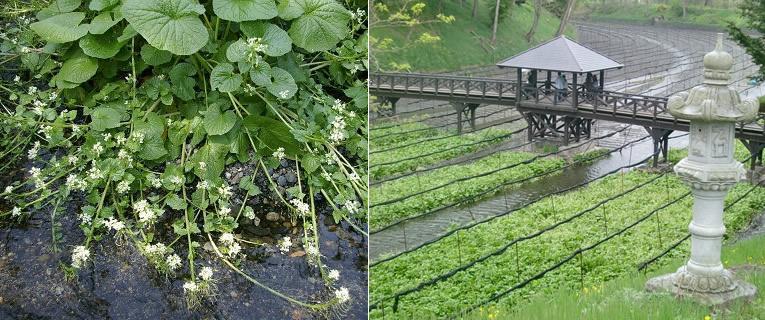 Kwekerij van wasabi in Japan
