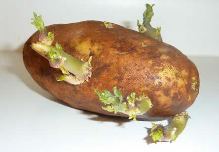 voorkiemen van aardappelen