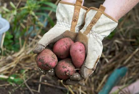 oogsten van aardappelen