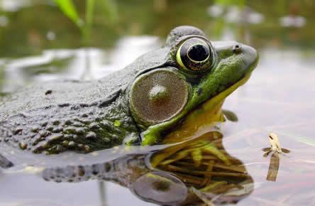 Dieren zoals kikkers en padden voelen zich snel thuis in de vijver