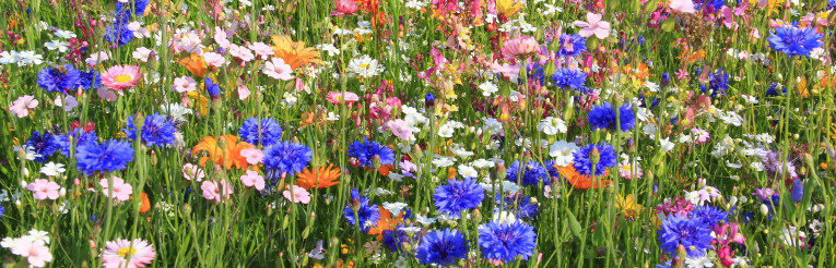 Bloeiend bloemenveld