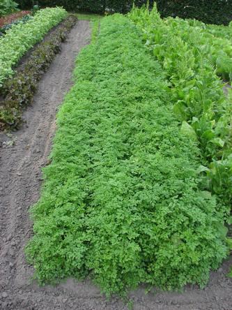 Kervel of Anthriscus cerefolium als kruid in de tuin aanplanten