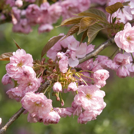 bloeiende bomen in de lente zoals sierkersen of prunussen