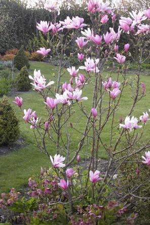 magnolia bloeit al vroeg in de lente