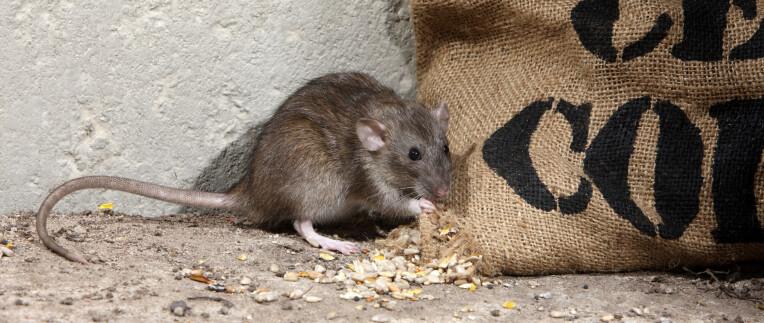 Rattenplaag in huis