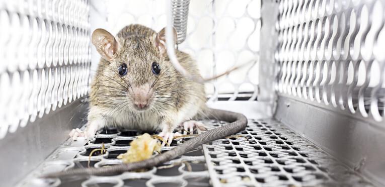 Ratten en muizen levend vangen
