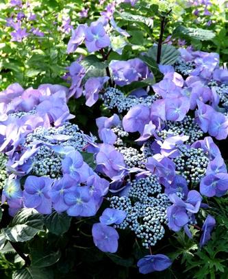 hortensia planten in de tuin