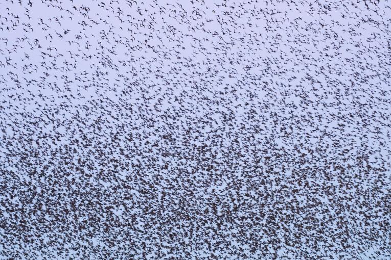 Duizenden spreeuwen samen.