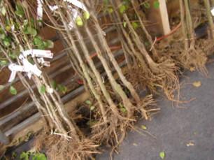 planten met blote wortel