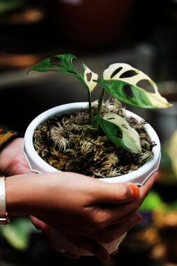 Gemuteerde variant Monstera Adansonii variegata