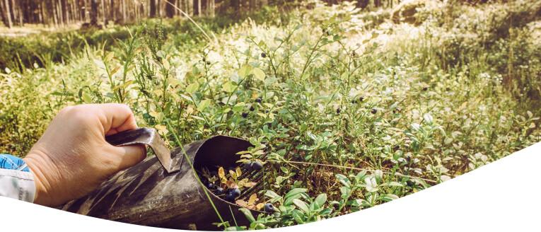 bosbessen in het wild