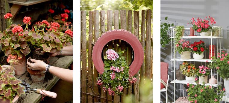 Creatief met geraniums